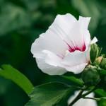 Pflege von Gartenhibiskus