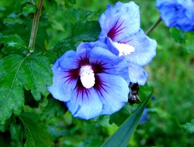 Hibiskus Pflege - Hibiskus Arten